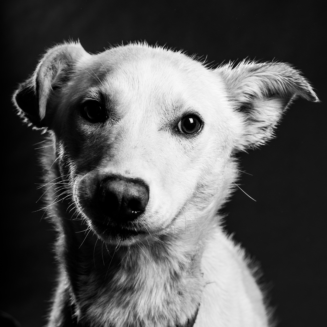 Dog Portrait for up to 4 dogs